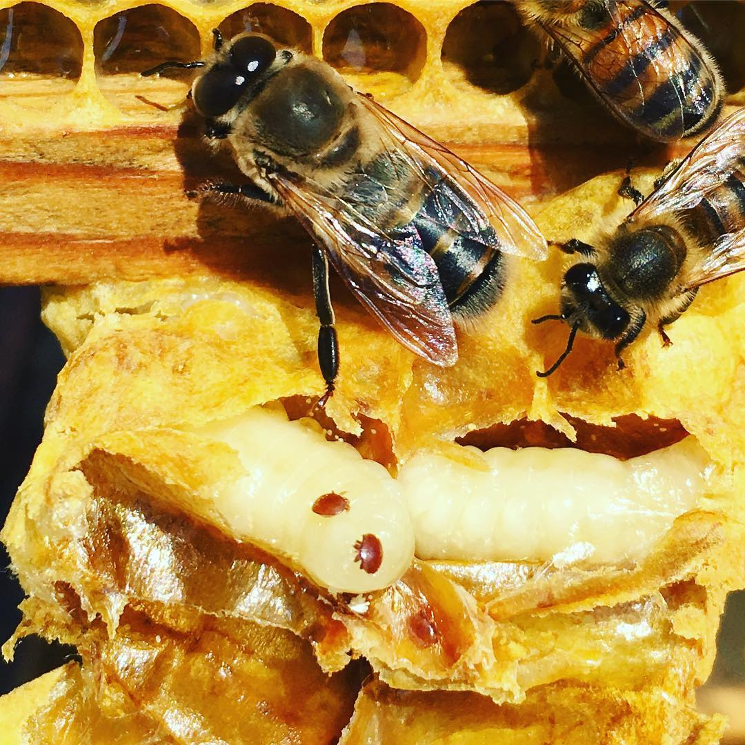 Varroa destructor in the bee hive