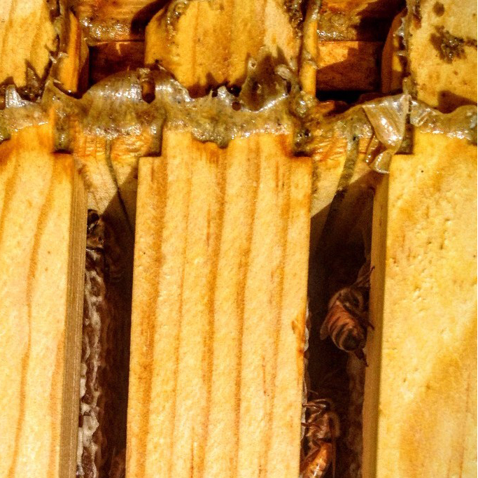 Sticky propolis above the frames