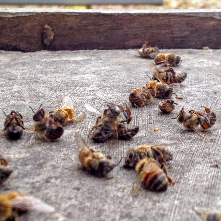 Dead bees in front of the hive