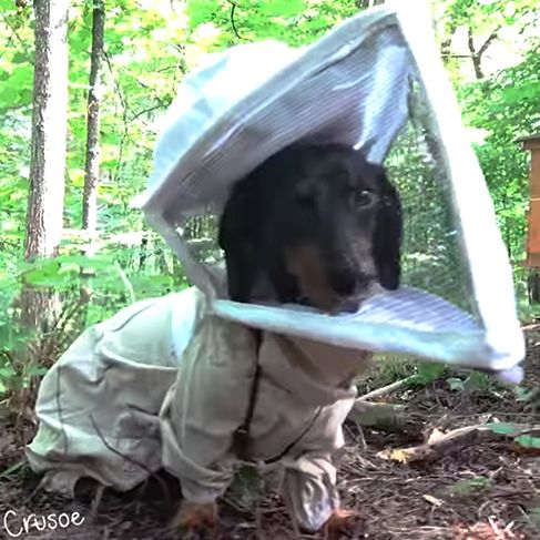 Crusoe beekeeping celebrity dachshund