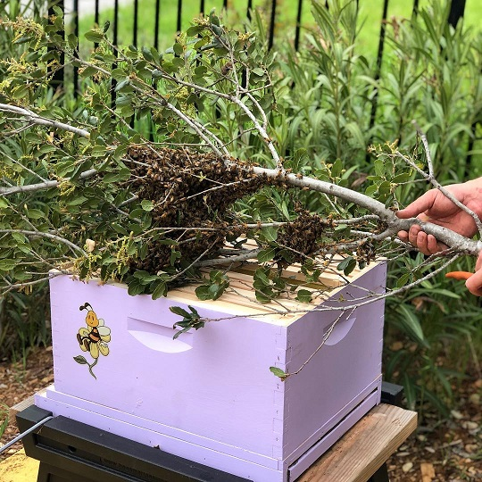 How to attract a swarm of bees